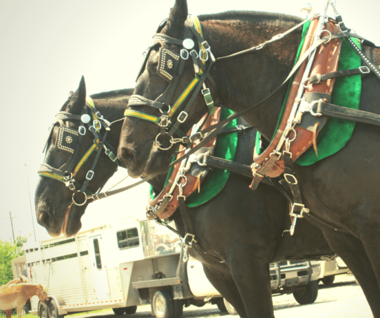 Close up of mules at Dawson Springs Mule Days