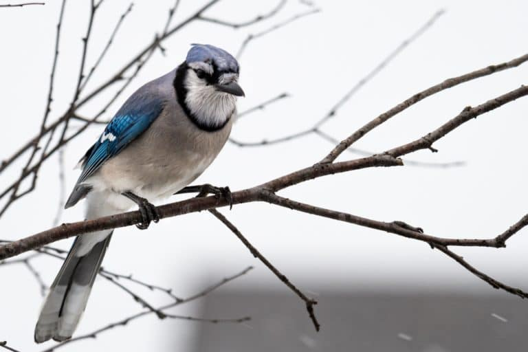 A Blue Jay perches in the Winter at Mahr Park